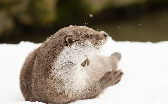 Otter, Winter, Snow, Zoo, Snowy