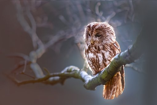 Owl, Nature, Winter, Bird