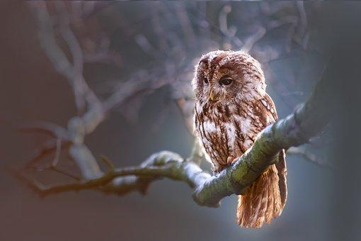 Owl, Nature, Winter, Bird
