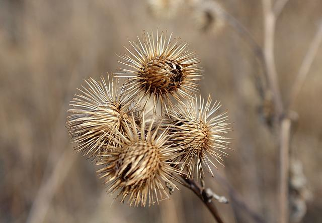 Thistle, Plant, Dry, Nature, At The Court Of, Winter