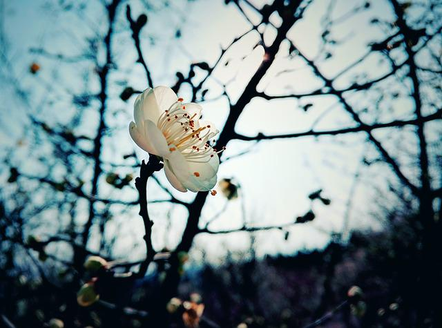 Plum Blossom, Winter, Plant