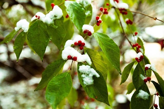 Begonia, Plant, Winter, Snow