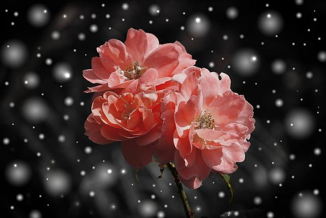 Rose, Flower, Flowers, Plant, Fantasy, Snow, Winter