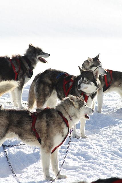 The Echalp, Dogs, Queiras, Nature, Winter, Snow