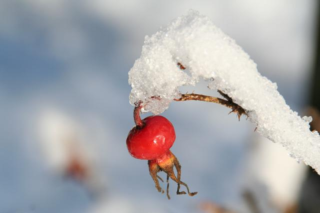 Wild Rose, Rose Hip, Ice, Winter, Frost, Cold, Red