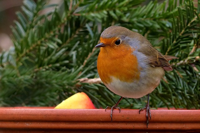 Robin, Bird, Songbird, Garden, Winter, Food Bowl