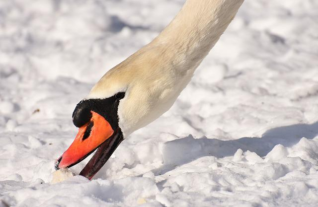 Swan, Waterfowl, Poultry, Snow, Plumage, Winter