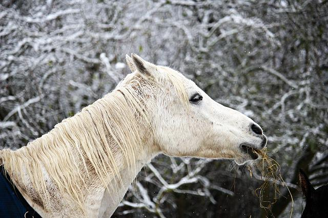 Horse, Winter, Snow, Mold, Frost, Thoroughbred Arabian