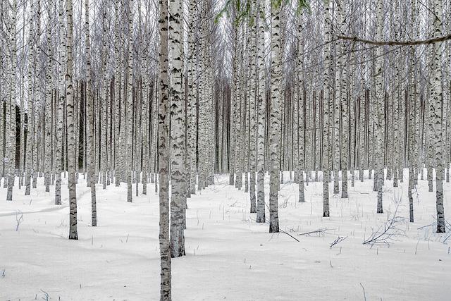 Snow, Winter, Tree, Landscape, Birch Trees, Birch Grove
