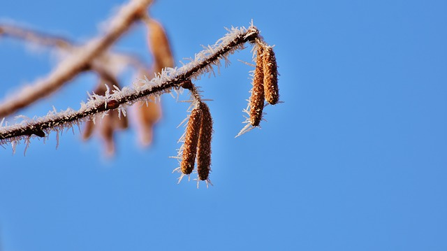 Blue Sky, Birch, Tree, Winter, Frost, Ripe, Nature