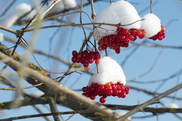 Snow Ball, Snow, Red Berries, Winter, Mood, Winter Mood