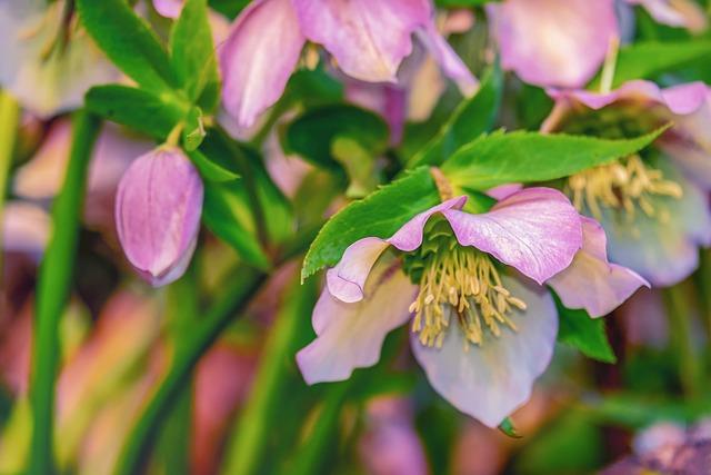 Christmas Rose, Anemone Blanda, Winterblueher, Flower
