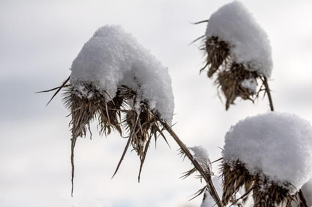Thistle, Dried Thistle, Snow, Winterimpression