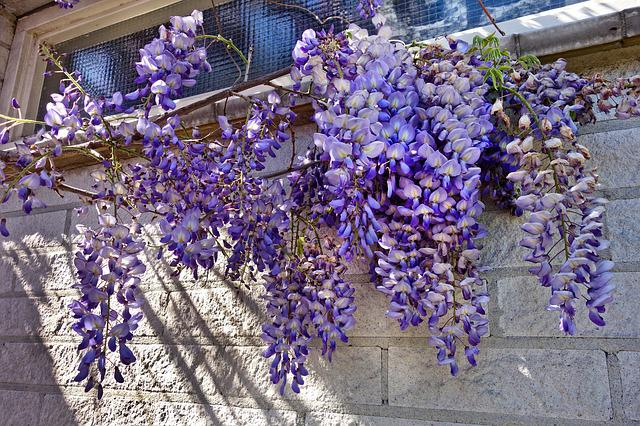 Wisteria, Plant, Flower, Vine, Creeper, Climber, Purple