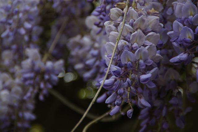 Wisteria, Blue Rain, Blütenmeer, Flowers, Grape