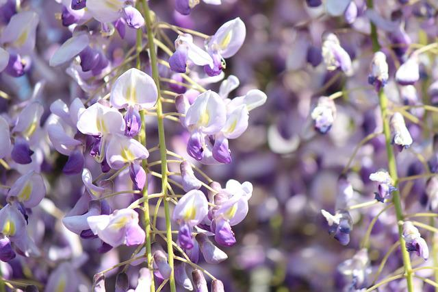 Wisteria, Wisteria Trellis, Flowers