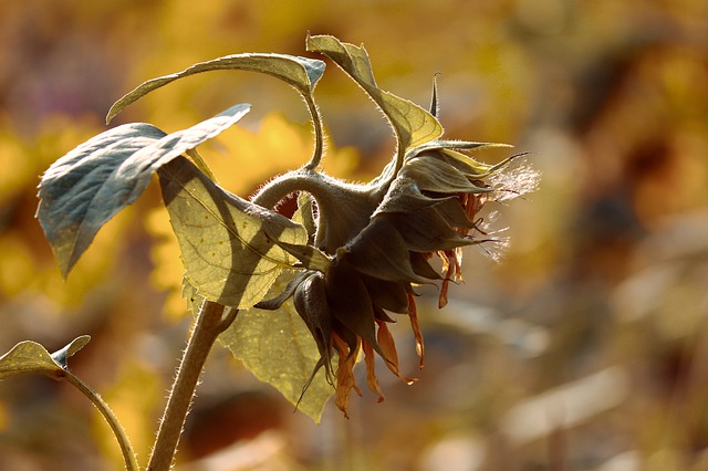 Sunflower, Blossom, Bloom, Head, Faded, Withered