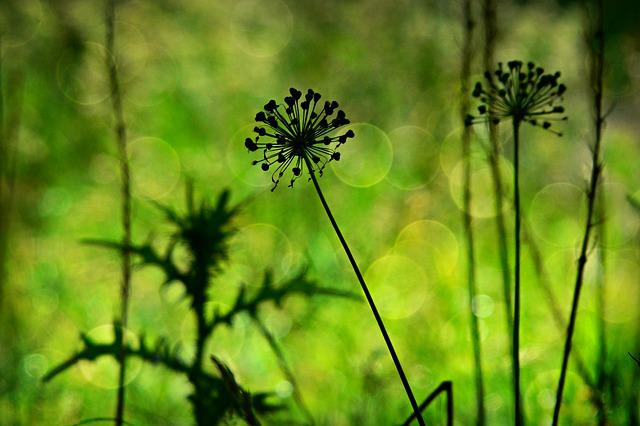 Allium, Plant, Withered, Silhouette, Grass, Thistle