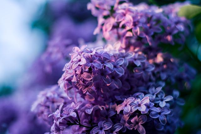 Without, Lilac Flower, Purple No, Bokeh, Violet Flowers