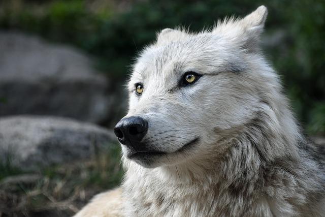 Wolf, Predator, Look, Portrait, Head, Wild Animal