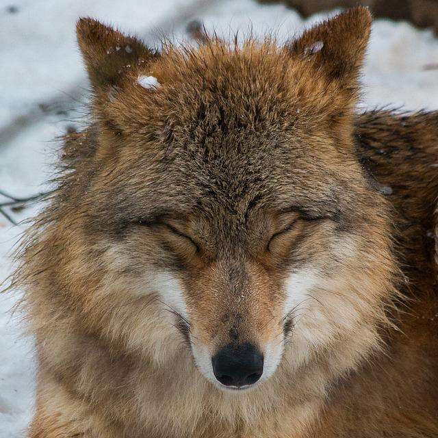 Mammal, Animal World, Animal, Dog, Wolf, Winter