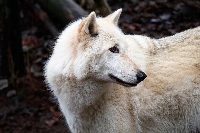 Mammal, Nature, Animal, Wildlife, Frosty, Wolf, Canine