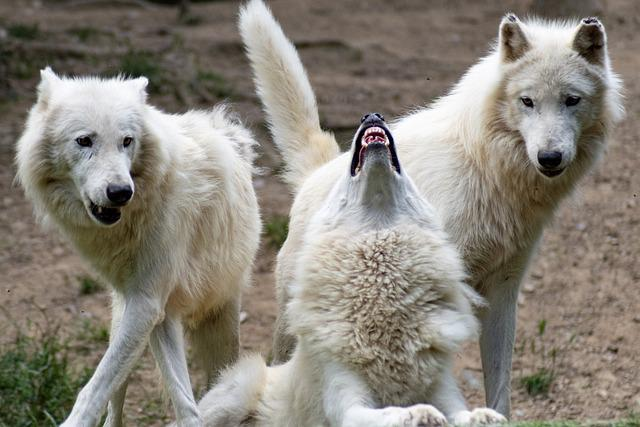 Wolf, Wolves, Nature, Wild, Animals, Fur, Mammals