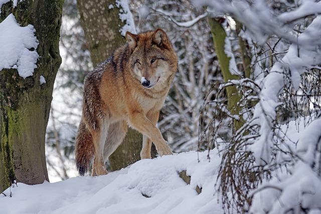 Wolf, Predator, Mongolian, Mongolian Wolf, Snow