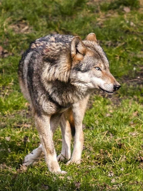 Wolf, Animal, Mammal, Nature