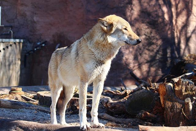 Wolf, Canis Lupus, Animal, Zoo, Nature, Predator, Beast