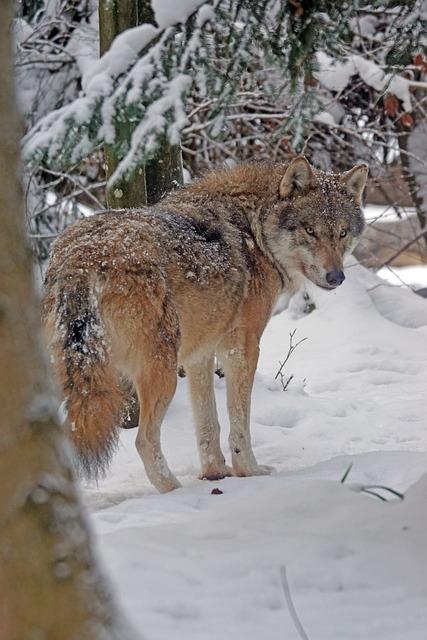 Wolf, Eurasisch, Predator, Pack Animal, Eurasian Wolf