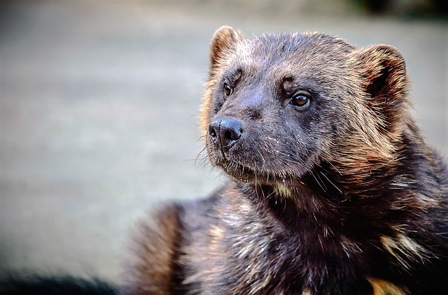 Animal, Nature, Wild, Wolverine, Marten, Predator