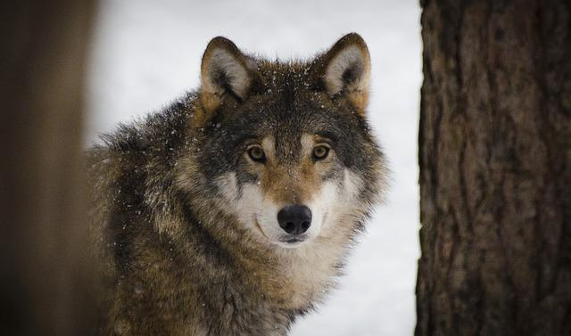 Wolf, Predators, Wildlife, Winter, Wolves, Zoo