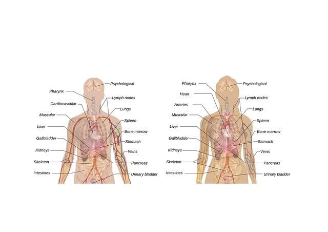 Man, Woman, Schema, Body, Anatomy, Teaching, Organs