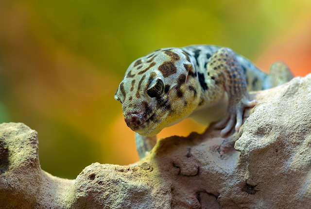 Wonder Gecko, Rough Scincus, Terrarium, Zoo, Reptile