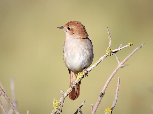 Wonderful, Songbird, The Nightingale Songbird
