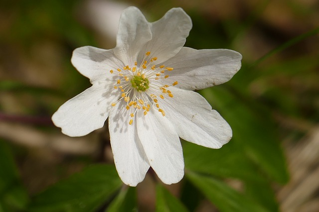 Wood Anemone, Blossom, Bloom, Nature, Plant
