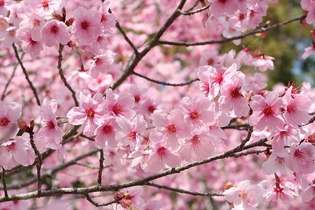 Cherry Blossoms, Flowers, Branch, Wood, Plant, Petal