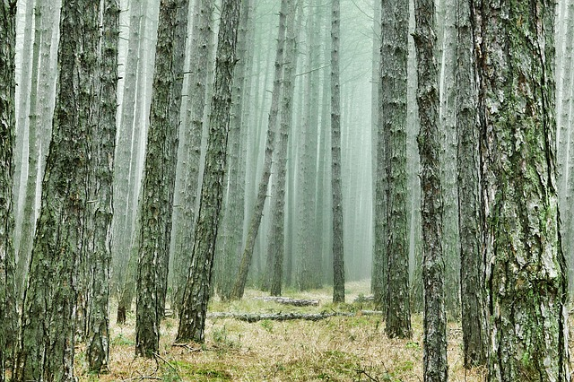 Wood, Tree, Forest, Pine Forest, Conifers, Pine, Fog