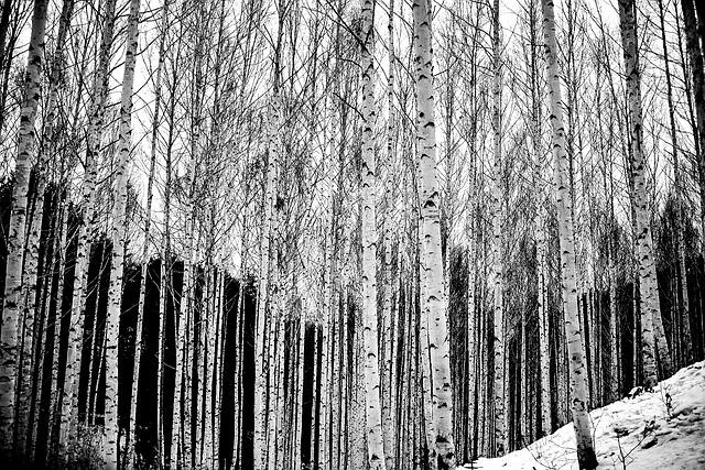 Birch, Wood, Scenery, Winter, Snow, Forest