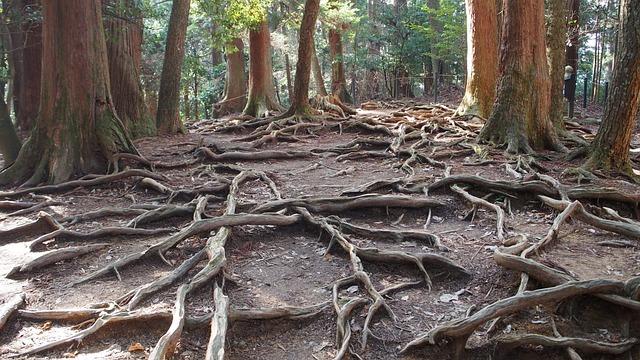 Japan, Mount Kurama, Woods, Tree, Wood, Root, Staggered