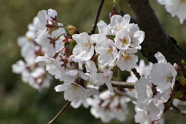 Natural, Landscape, Plant, Wood, Flowers, Cherry, Petal