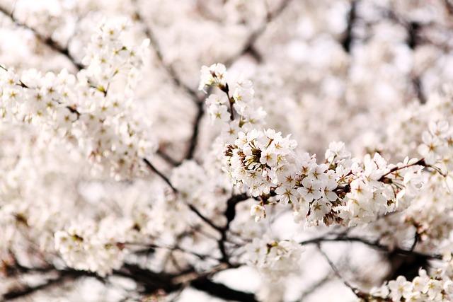 Cherry Blossom, Sakura, Out Of Focus, Wood
