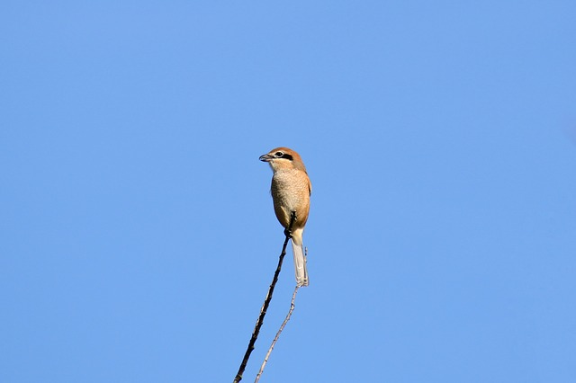 Animal, Sky, Wood, Wild Birds, Little Bird, Shrike