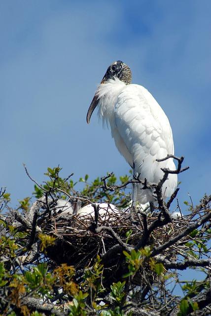 Wood Stork, Nesting, Nest, Babies, Tropical Bird, Bird
