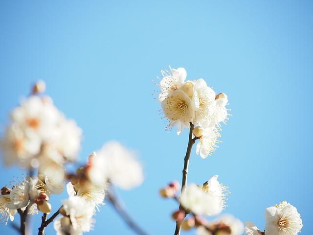 Flowers, Plum, White Plum Blossoms, Wood, Plum Blossoms