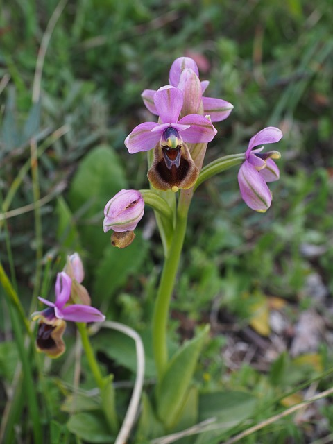 Woodcock Orchid, Ophrys Scolopax, Orchids Nature