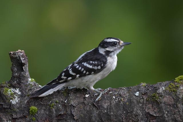 Bird, Woodpecker, Downy Woodpecker, Closeup, Profile