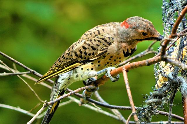 Bird, Woodpecker, Flicker, Flicker Woodpecker, Colorful
