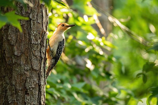 Woodpecker, Red-bellied Woodpecker, Woodpecker Isolated